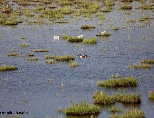 Restaurering av våtmarker