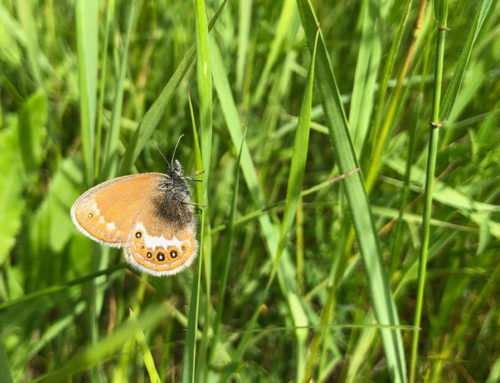 Fjärilsinventering i Värmland